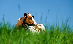 cow-1374685_1280