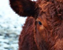 cow-174822_1280
